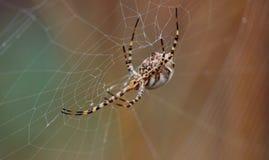 Argentata Argiope πίσω από τον ιστό αράχνης Στοκ Εικόνες