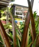 Argentata Argiope, τροπική αράχνη σε ένα υπόβαθρο πόλεων Στοκ Φωτογραφία