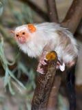 argentata callithrix marmoset αργυροειδές Στοκ φωτογραφίες με δικαίωμα ελεύθερης χρήσης