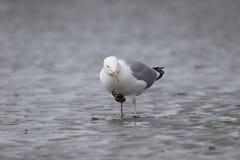 argentatus鸥鲱鱼larus 免版税库存图片