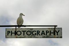 Argentatus do Larus, gaivota de arenques foto de stock royalty free