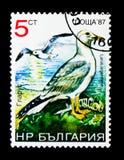 Argentatus europeo di larus del gabbiano reale nordico, serie degli uccelli, circa 1988 Fotografia Stock