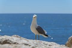 Argentatus europeu do Larus da gaivota de arenques foto de stock royalty free