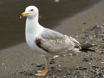 Argentatus Larus - αργυροειδές seagull Στοκ Φωτογραφίες