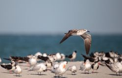 Argentatus Larus ασημόγλαρων στην παραλία στο πέρασμα μαλακίων Στοκ φωτογραφίες με δικαίωμα ελεύθερης χρήσης