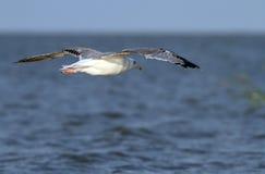 Argentatus Larus που πετά πέρα από τη θάλασσα Στοκ φωτογραφίες με δικαίωμα ελεύθερης χρήσης