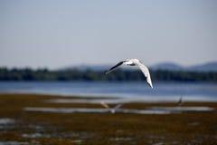 Argentatus Larus στο φυσικό περιβάλλον Στοκ φωτογραφία με δικαίωμα ελεύθερης χρήσης