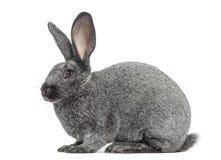 Argente-Kaninchen lokalisiert auf Weiß Lizenzfreie Stockfotografie