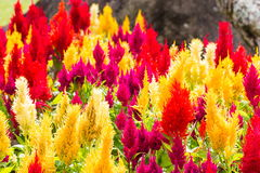 Argentea Celosia ή Cockscomb, χρώμα μιγμάτων Στοκ Εικόνες