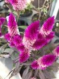 Argentea Celosia ή Woolflowers ή λουλούδι Cockscombs Στοκ Φωτογραφίες