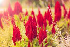 Argentea Celosia, λουλούδι κόκκινου χρώματος cockscomb Στοκ Εικόνα