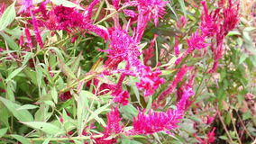 Argentea cor-de-rosa vermelho Linn do Celosia ou flor da crista no jardim botânico, cristata Kuntze vídeos de arquivo