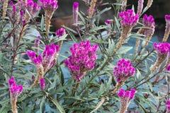 Argentea de Celosia également connu sous le nom de parterre emplumé de crête Image libre de droits