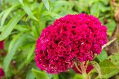Argentea de Celosia dans le jardin photographie stock