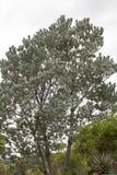 Argenteum de Leucadendron images stock