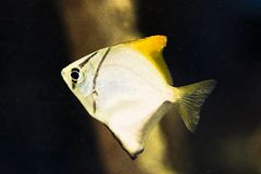 Argenteus Monodactylus - ασημένιος ονειροπαρμένος Στοκ Εικόνες