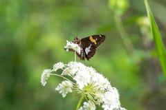 Argentez la mite repérée de papillon de capitaine sur la fleur blanche au printemps photo stock