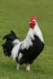 Argenti il gallo di Dorking Immagini Stock