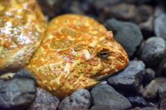 Argentijnse Gehoornde Kikker of Ceratophrys-ornata Stock Afbeelding