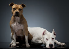 Argentin Dog and Staffordshire Terrier on the floor. Argentin Dog and Staffordshire Terrier on  floor Royalty Free Stock Images