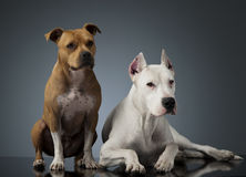 Argentin Dog and Staffordshire Terrier  are on the shiny floor. Argentin Dog and Staffordshire Terrier on the shiny floor Stock Images