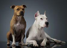 Argentin Dog and Staffordshire Terrier on the shiny floor. Argentin Dog and Staffordshire Terrier on the shiny studio floor Royalty Free Stock Images