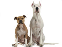 Argentin Dog and Staffordshire Terrier sitting on the white floor. Argentin Dog and Staffordshire Terrier on the white floor Stock Photos