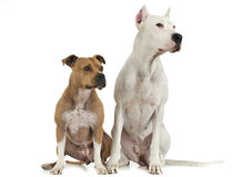 Argentin Dog and Staffordshire Terrier on the white floor. Argentin Dog and Staffordshire Terrier on the white studio floor Royalty Free Stock Photos