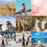 Argentina animals. Collage Stock Image