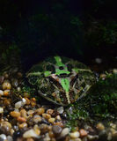 Argentina horned frog Stock Image