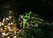 Argentina horned frog Stock Images