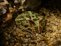 Argentina horned frog Stock Photography