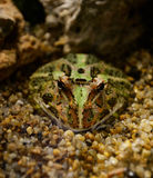 Argentina horned frog Stock Images