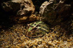 Argentina horned frog Royalty Free Stock Image