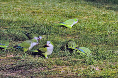 Argentina papegoja Royaltyfri Foto