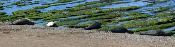 Argentina's Sea lions in Peninsula de valdez Royalty Free Stock Photography