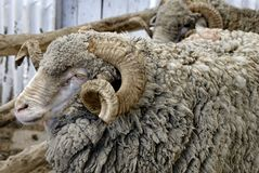 Argentina sheep Royalty Free Stock Photography