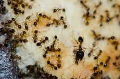 Argentine ants Linepithema humile feeding on food scraps. San Sebastian de La Gomera. La Gomera. Canary Islands. Spain royalty free stock photo