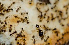 Argentine ants Linepithema humile feeding on food scraps. San Sebastian de La Gomera. La Gomera. Canary Islands. Spain royalty free stock photography
