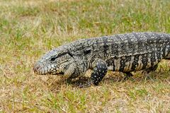 Argentine Black and White Giant Tegu, Tupinambis Merianae or Salvator Merianae. In Uruguay Royalty Free Stock Image