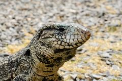 Argentine Black and White Giant Tegu, Tupinambis Merianae or Salvator Merianae. In Uruguay Royalty Free Stock Photography