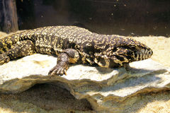 Argentine Black & White Tegu Royalty Free Stock Photos
