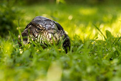 Argentine black and white tegu. In grass stock photography