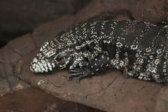 Argentine black and white tegu Salvator merianae. Also known as the Argentine giant tegu Stock Photography