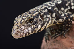 Argentine black and white tegu (Salvator merianae) Royalty Free Stock Photography