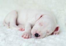 Argentine Dogo puppy Stock Image