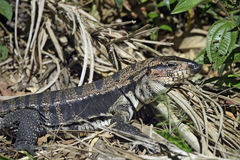 Argentine giant tegu in their natural habitat Stock Images