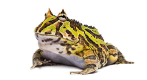 Argentine Horned Frog, Ceratophrys ornata Stock Photography