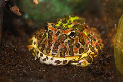 Argentine horned frog Stock Images