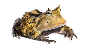 Argentine Horned Frog, Ceratophrys ornata, isolated. On white Stock Photos